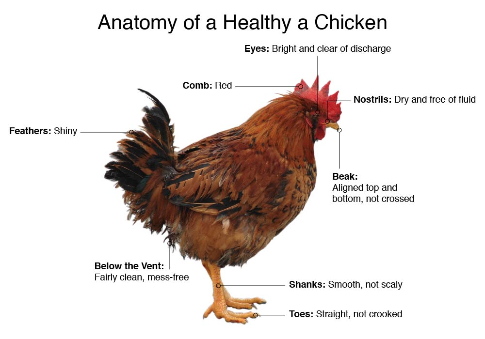 Anatomy of a Healthy Chicken